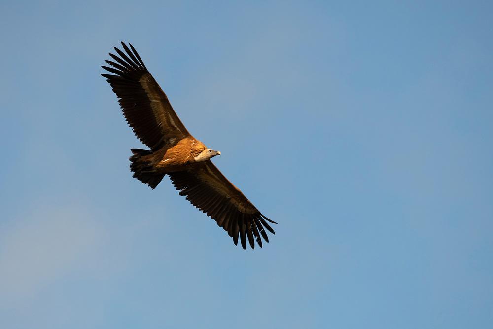 Griffon vulture, Gyps fulvus, Parque Natural Sierra de Andújar, Andalucia, Spain