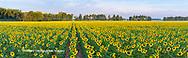 63801-06917 Sunflower field Jasper Co.  IL
