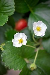 Strawberry 'Montana' - Fragaria