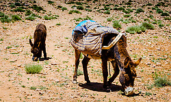 Donkeys with a flock of goats and sheep in the Atlas Mountains, Morocco<br /> <br /> (c) Andrew Wilson   Edinburgh Elite media