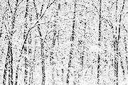 Snow storm in Seine River forest<br /> Winnipeg<br /> Manitoba<br /> Canada