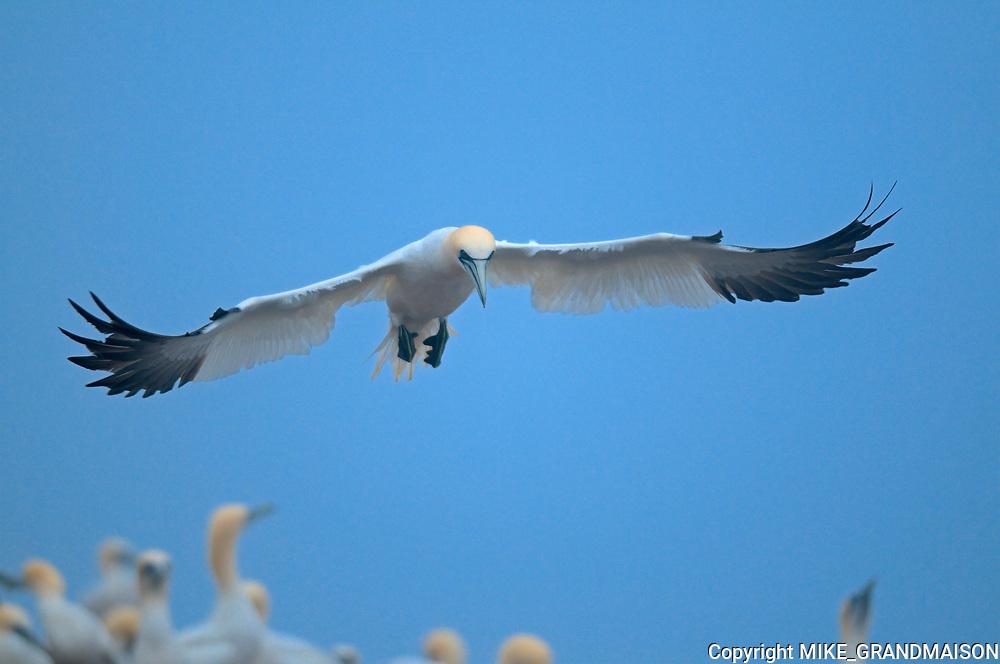 Northern Gannet (Gannet Morus bassanus) in  flight over colony on Bonaventure Island off the Atlantic Ocean.<br /> Bonaventure Island<br /> Quebec<br /> Canada