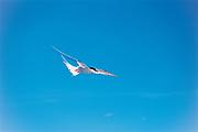 Arctic Tern (Sterna Paradisaea)<br />Churchill<br />Manitoba<br />Canada
