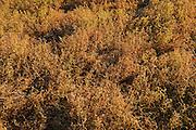 Brown lentils<br /> Webb<br /> Saskatchewan<br /> Canada