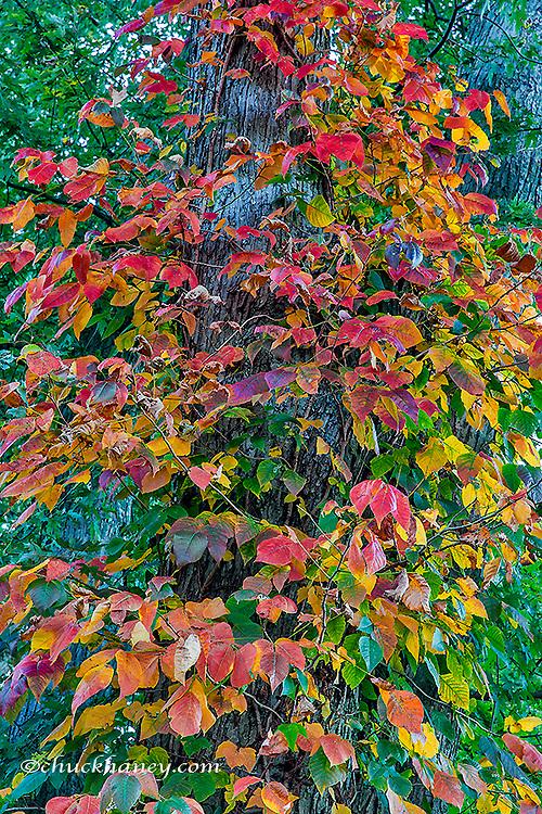 Virginia Creeper in autumn in Defiance, Ohio, USA