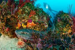 Poroderma pantherinum, Leoparden Katzenhai im Korallenriff, Leopard catshark in Coralreef, Porth Elizabeth, Suedafrika, Indischer Ocean, Algoa Bay, Porth Elizabeth, Südafrika, Suedafrika, Indischer Ocean, MR Yes