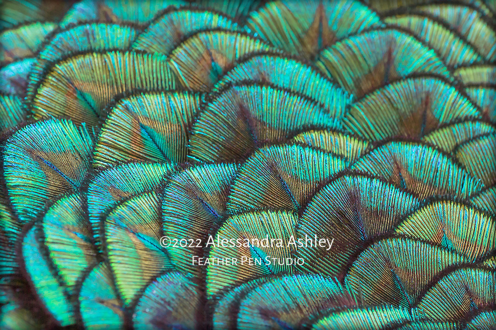 Macro view, intricately patterned shoulder feathers of blue-green male peacock.