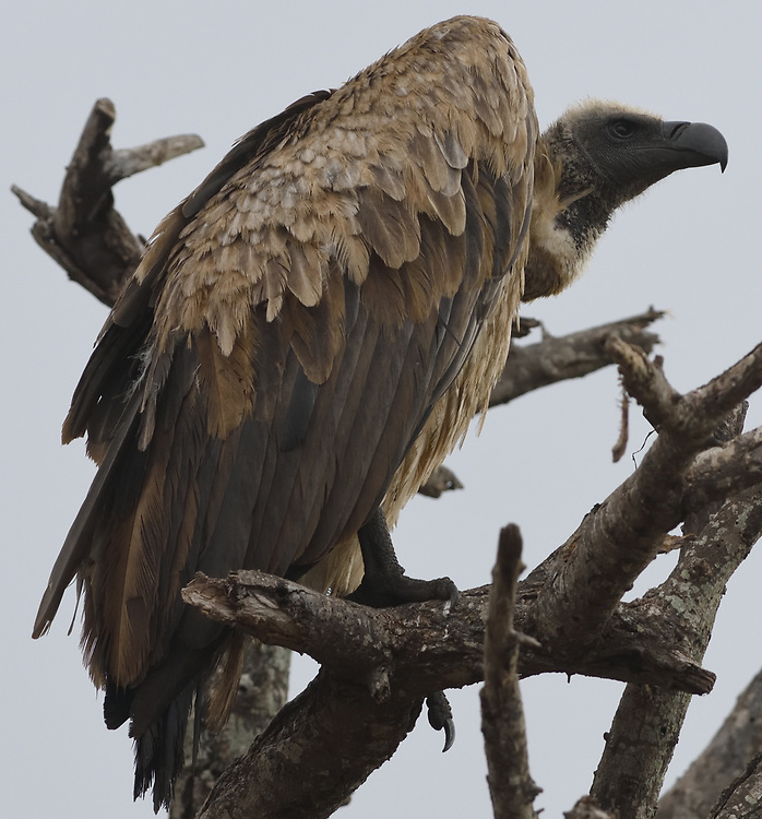 A white-backed vulture (Gyps africanus) perching on a dead tree. Tarangire National Park, Tanzania.