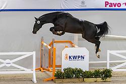 102, Nullan HBC<br /> KWPN Hengstenkeuring 2021<br /> © Hippo Foto - Dirk Caremans<br />  03/02/2021