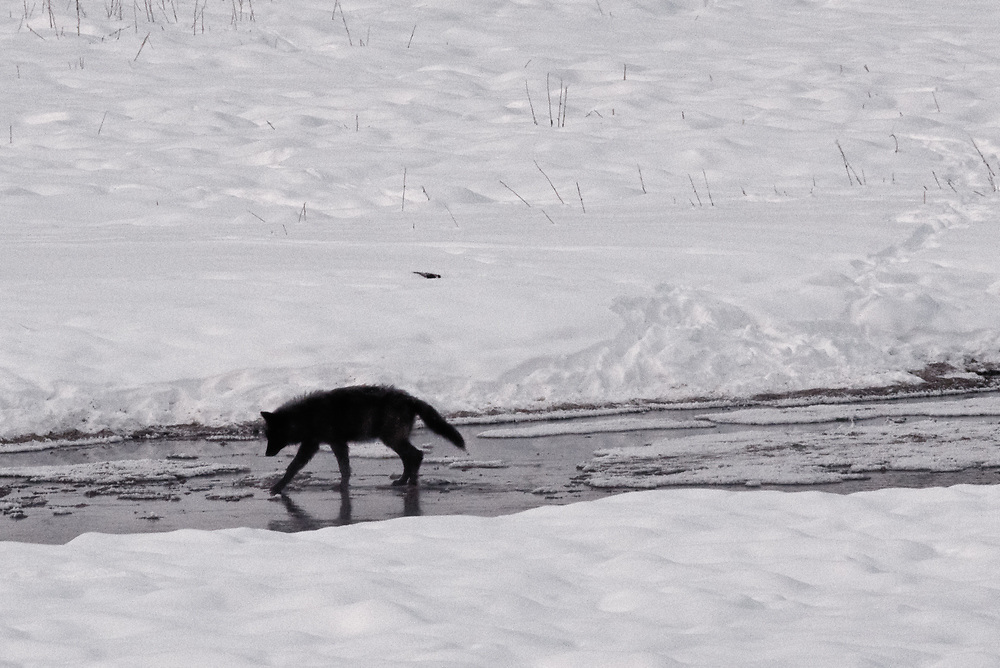 A wolf pup crosses a partially frozen stream in a meadow in Yellowstone