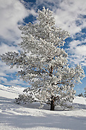 Grande Prairie, Alberta.10/02/10.Hoar frost covers these trees in Muskoseepi Park Wednesday afternoon, February 10, as a bright clearing sky forms a backdrop. The weather will be perfect for those looking to enjoy the Family Day long weekend outdoors.