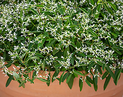 Euphorbia hypericifolia 'Silver Fog'