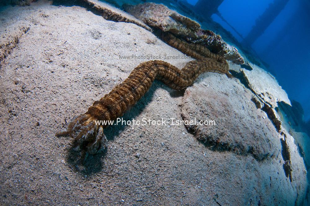 Synapta maculata sea cucumber also Zebra sea cucumber crawls on the sea bed, Red Sea, Israel