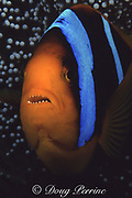 orange-fin anemonefish, Amphiprion chrysopterus, Susan's Reef, Kimbe Bay, New Britain, Papua New Guinea, Western Pacific Ocean