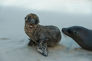 Galapagos Sealions (Zalophus wollebaeki)<br /> Santa Fe Island<br /> Galapagos<br /> Ecuador, South America