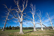 Bleached dead trees, Amberley, North Canterbury, New Zealand