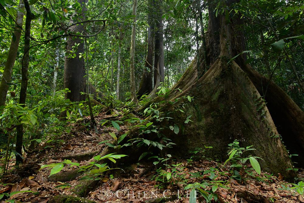 Parashorea malaanonan, buttress roots. Danum Valley Conservation Area, Sabah, Malaysia (Borneo).