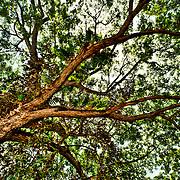 Leafy Canopy Tree, Palawan, Philippines