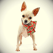 This little chihuahua takes a darling dog photo.