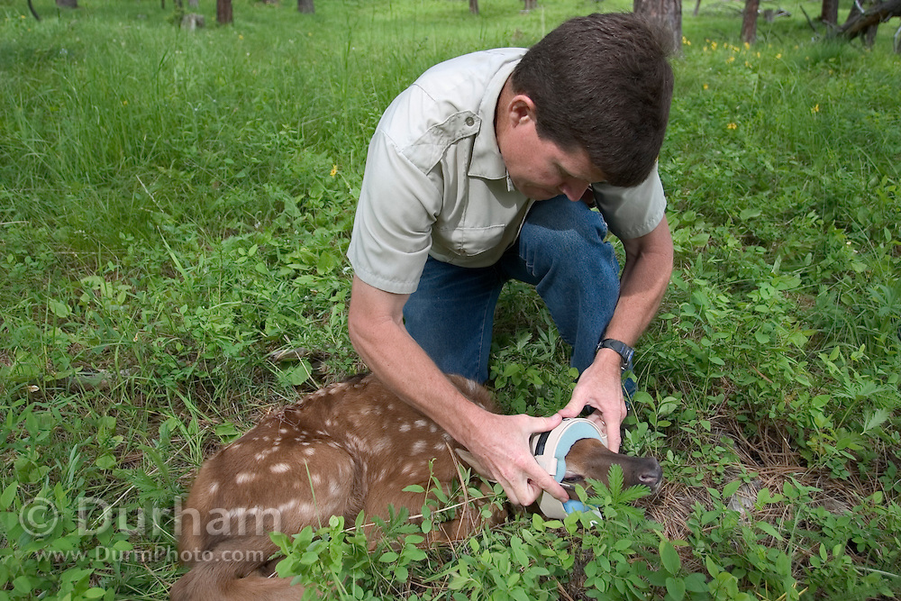 Oregon Division Of Fish And Wildlife biologist Pat Matthews places a radio collar on a newborn elk calf in the Sled Springs Elk Study Area. The collar will allow biologists to track its movements and monitor its health.