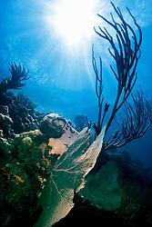 sea fan, Gorgonia sp., and knobby sea rods, .Eunicea sp., Looe Key, Florida Keys .National Marine Sanctuary, Florida (Atlantic)