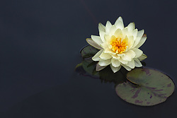 Water Lily, yellow, #10