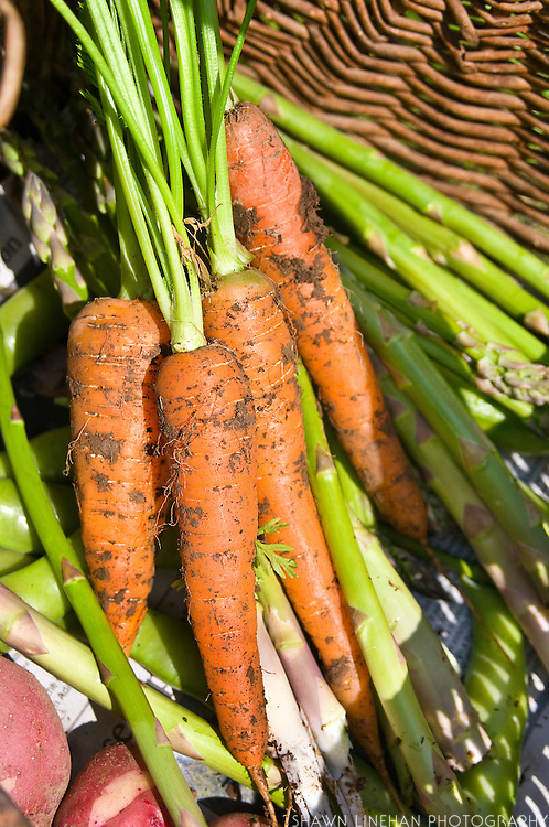 Carrots with dirt and soil sit in basket after harvest.