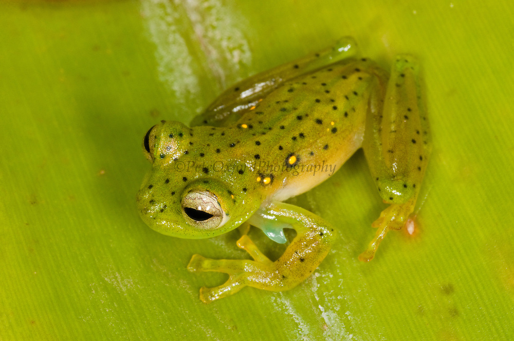 Emerald Glass Frog (Espadarana prosoblepon) CAPTIVE<br /> Chocó Region of NW ECUADOR. South America<br /> RANGE: Colombia, Ecuador & Northern Peru.