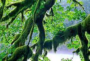 Moss & Ferns growing on limbs over Nooksack River - Mt. Baker N.F., Washington.
