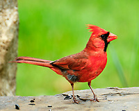 Northern Cardinal. Image taken with a Fuji X-T2 camera and 100-400 mm OIS telephoto zoom lens.