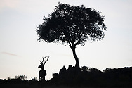 Red deer stag, Cervus elaphus, and a Holm oak tree, Quercus ilex, Parque Natural Sierra de Andújar, Andalucia, Spain