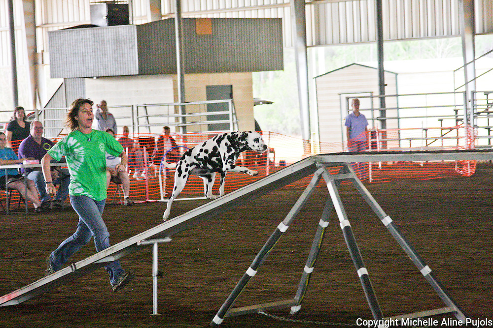 Dalmatian dogs competing in agility trials.