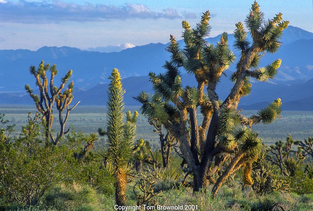 Joshua tree forest bloom on Grapevine Mesa, Arizona. Looking SW across the Gold Basin, mojave desert. Joshua Tree forest in Arizona's portion of the Mojave desert and the Great Basin and Range.