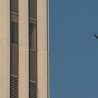 A red-tailed hawk (Buteo jamaicensis) soars  past a building above Wilshire Boulevard in Los Angeles, California.