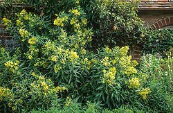 Cestrum parqui growing by a wall at Great Dixter
