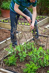 Staking peas with twiggy pea sticks. Pisum sativum