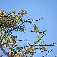 South America, Brazil, Pantanal.  Monk Parakeet of the Pantanal.