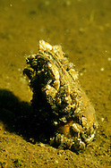 Zebra Mussels attached to shell of native mussel, Keyes Lake, WI<br />