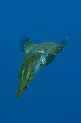 Caribbean Reef Squid (Sepioteuthis sepioidea)<br /> BONAIRE, Netherlands Antilles, Caribbean<br /> HABITAT & DISTRIBUTION:<br /> Florida, Bahamas, Caribbean, Gulf of Mexico south to Brazil.