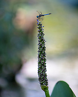 Dragonfly on a Pickerel Weed Plant   Irmo, South Carolina  photo by catherine brown