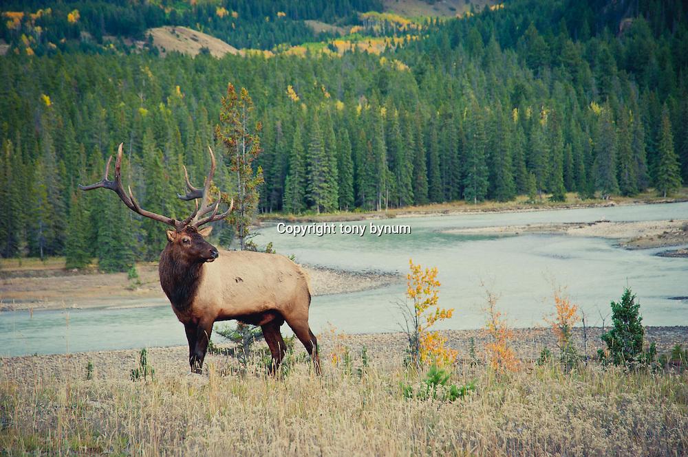 bull elk above river fall colors,
