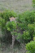 Kenya, Masai Mara, Cheetahs (Acinonyx jubatus) hides in a bush
