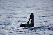 Orca or Killerwhale (Orcinus orca) feeding on herring in the Tysfjord area (Norway). Male Orcas grow up to 7 m, while females are aout 5 m in length. [size of single organism: 4 m]