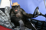 EXCLUSIVE 24th June 2008, Palm Springs, California. 76-year-old Cheeta, star of many Hollywood Tarzan films of the 1930s and 1940s, is coming out of retirement. Recognized as the oldest chimpanzee alive, the Palm Springs resident has just signed a record deal. To celebrate the signing, Cheeta made a promo music video to accompany his cover of the 1975 hit song 'Convoy'. PHOTO © JOHN CHAPPLE / www.johnchapple.com<br /> tel: +1-310-570-9100