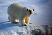 Polar Bear, Ursus Maritimus, seen on sea ice in the Lincoln Sea, Arctic Ocean, 82 degrees N 34, 61 degrees west 13 on the ice edge.