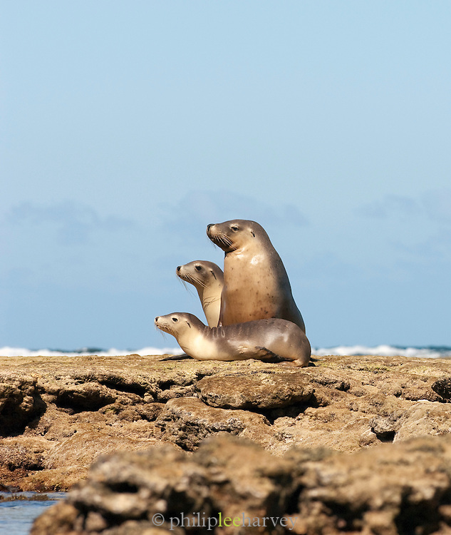 Sea Lions sitting on the rocks, Baird Bay, Eyre Peninsula, South Australia, Australia