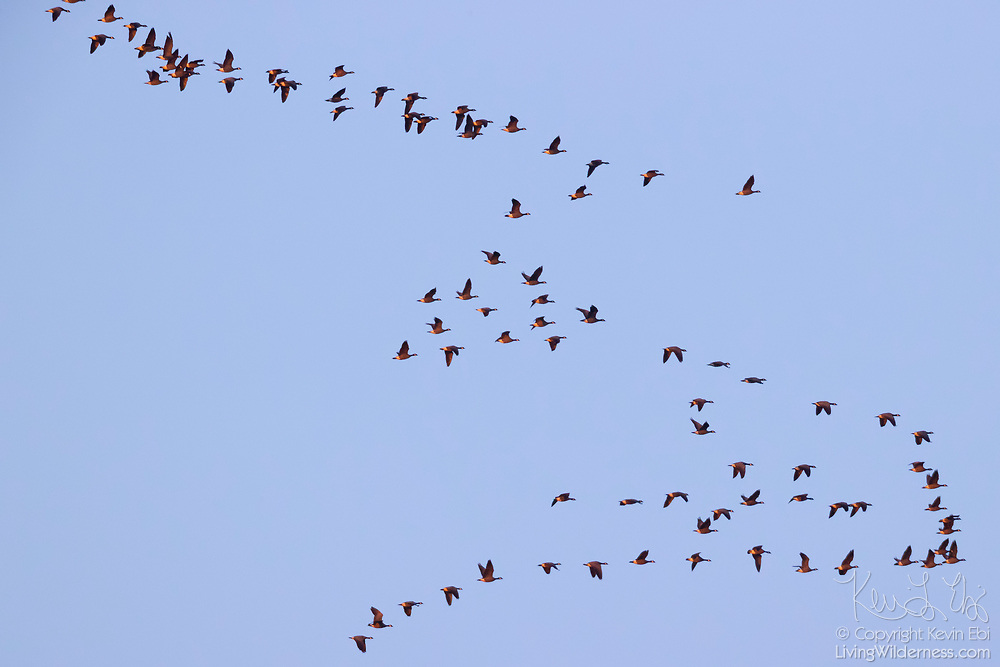 A large flock of Canada geese (Branta canadensis) zig-zag across the sky at sunrise in Kenmore, Washington.