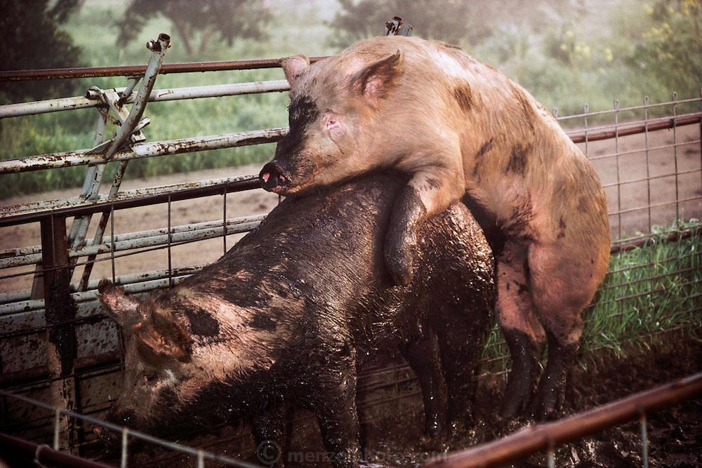 Pigs/Swine/Hog: breeding at the Mitri Hog Ranch. USA.