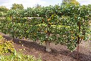 Apple variety Golden Reinette from 1600 in the walled organic Kitchen Garden, Audley End House, Essex, England, UK