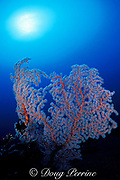 sea fan, or gorgonian soft coral, by Liberty Wreck, Bali, Indonesia